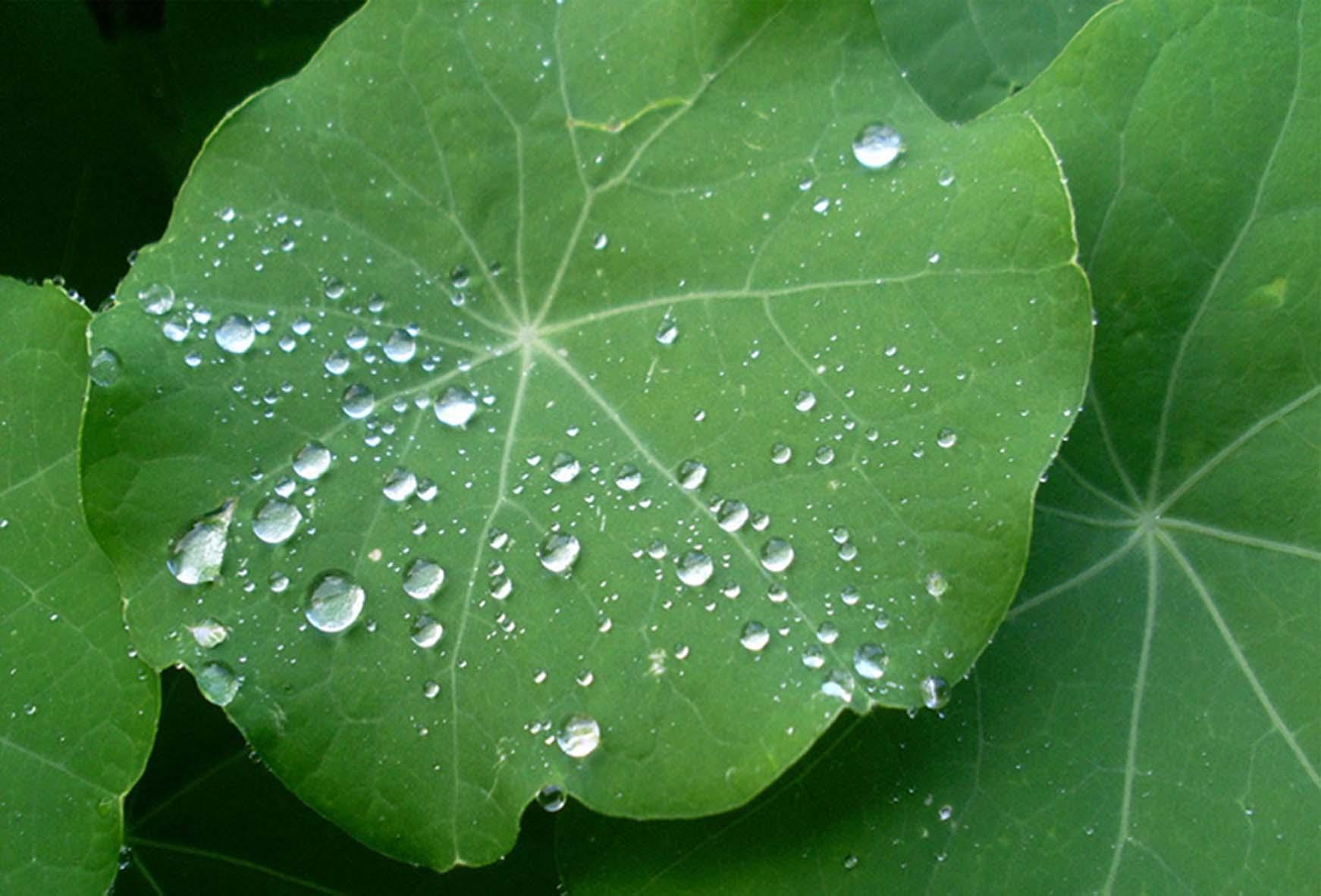 lotus-leaf